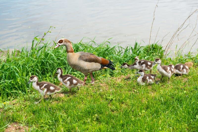 Mère d'oie avec de jeunes oisons sur une berge images stock