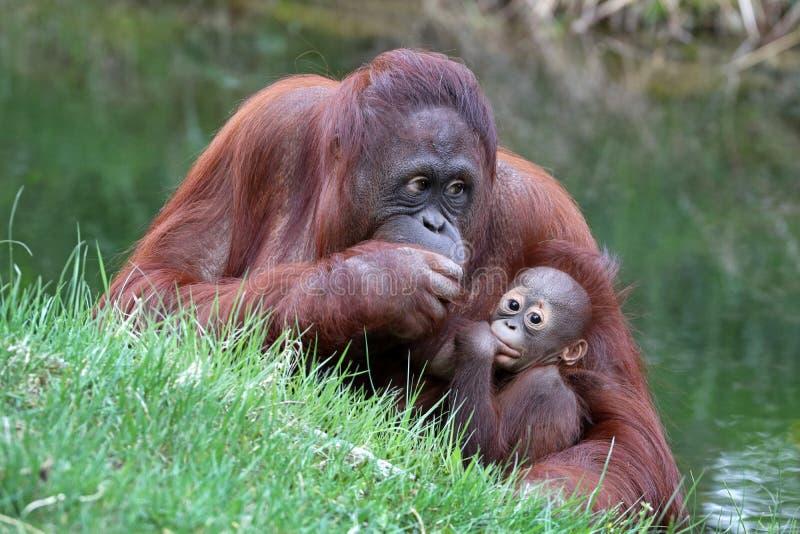 Mère d'orang-outan avec le bébé photographie stock libre de droits