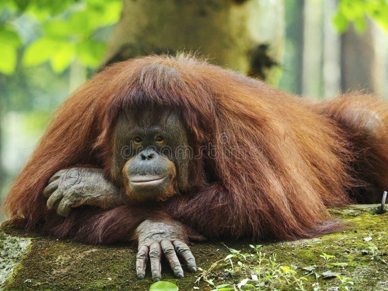 Mère d'orang-outan Utan photo stock