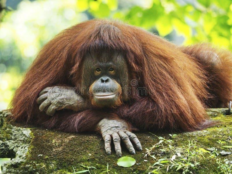 Mère d'orang-outan Utan image stock