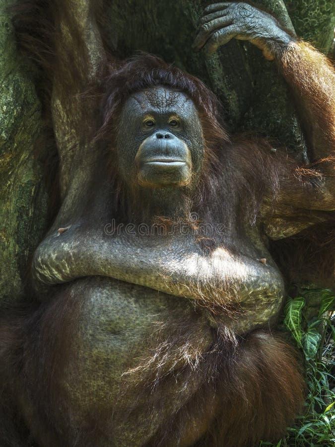 Mère d'orang-outan Utan image libre de droits