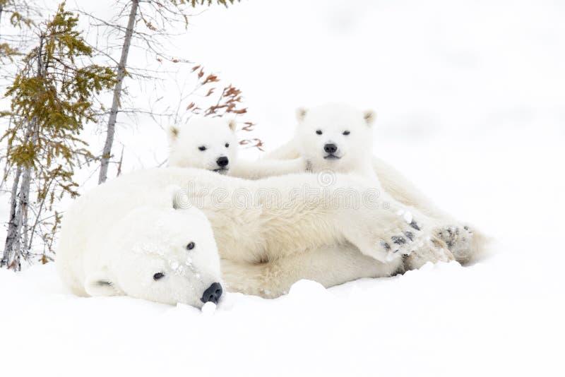 Mère d'ours blanc avec deux petits animaux images stock