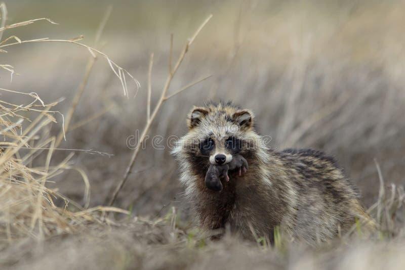 Mère de chien de raton laveur avec l'petit animal images libres de droits