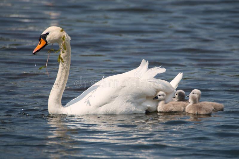 Mère de cygne avec ses enfants photo libre de droits