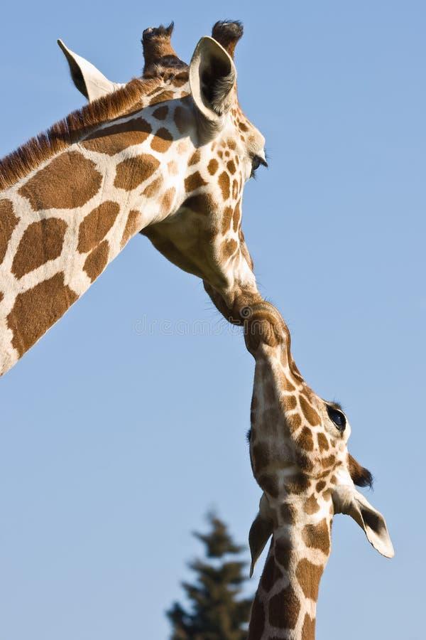 mère de giraffe de chéri photographie stock libre de droits