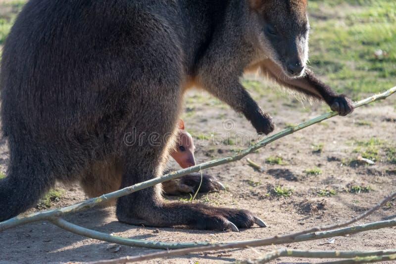 Mère de kangourou, avec un bébé Joey dans la poche image libre de droits