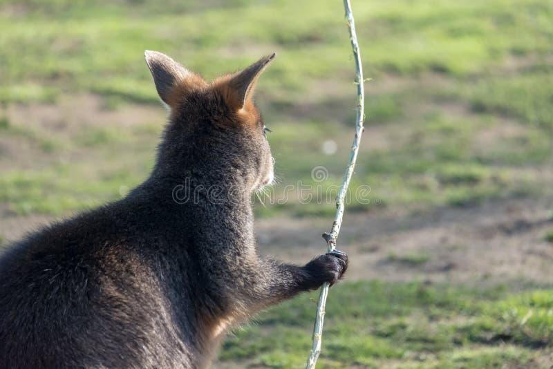Mère de kangourou, avec un bébé Joey dans la poche image stock