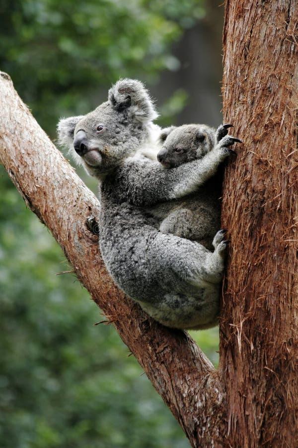 mère de koala d'ours de chéri photo libre de droits