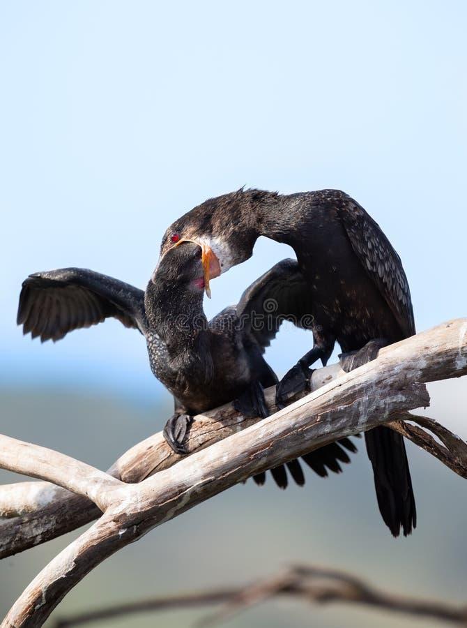 Mère de Reed Cormorant alimentant ses jeunes poissons qu'elle régurgite photos stock