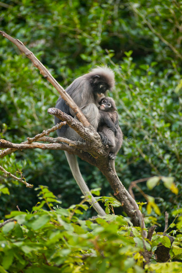 Mère de singe et fils (obscura reid de Presbytis). photographie stock