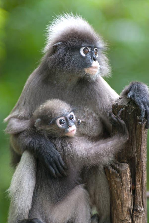 Mère de singe et fils (Presbytis Obscura Reid). images libres de droits