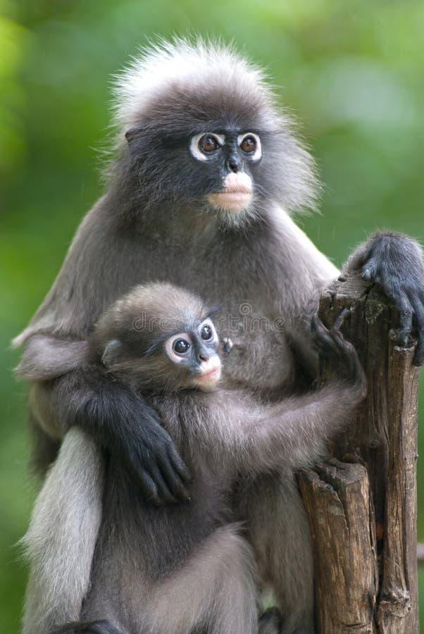 Mère de singe et fils (Presbytis Obscura Reid). photos libres de droits