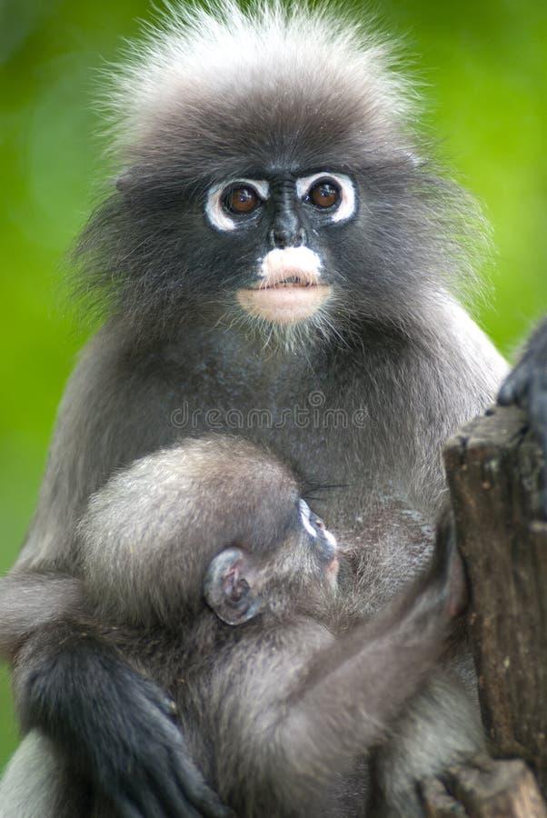 Mère de singe et fils (Presbytis Obscura Reid). photographie stock