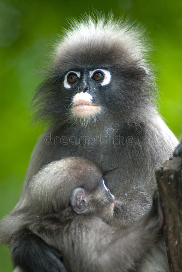 Mère de singe et fils (Presbytis Obscura Reid). photos stock