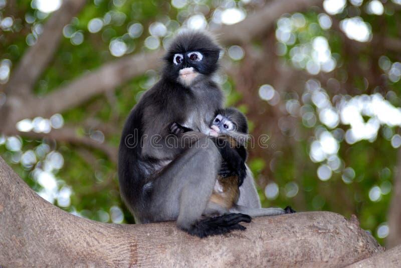 Mère de singe et fils (Presbytis Obscura Reid). images stock