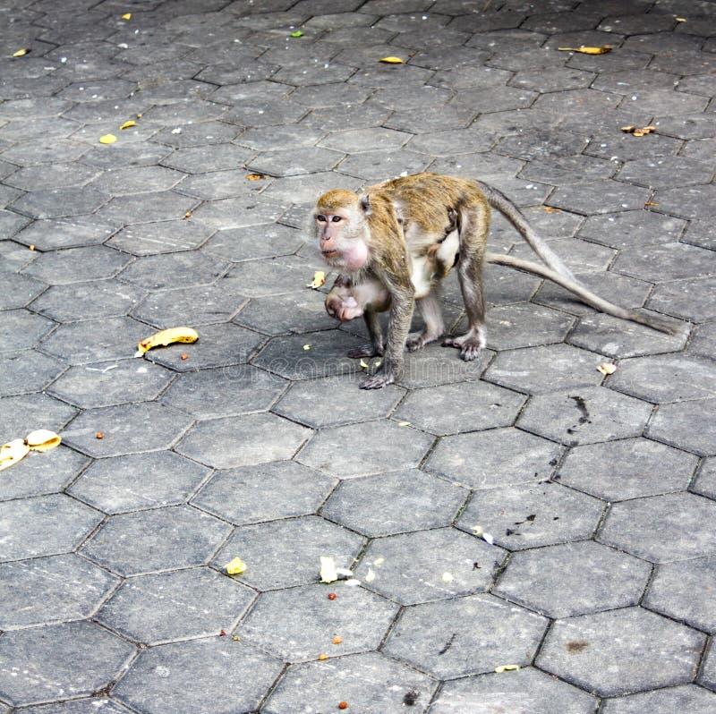 Mère de singe de Macaque et alimentation des enfants en raison des cavernes de Batu, Kuala Lumpur, Malaisie image stock