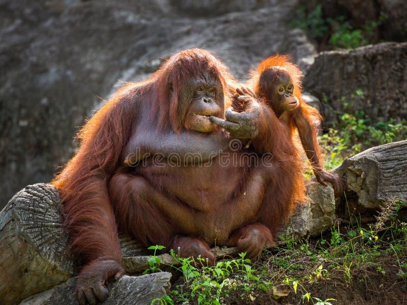 Mère et bébé d'orang-outan détendant dans le naturel photos libres de droits