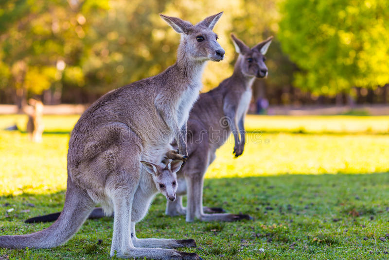 Mère et bébé de kangourou dans la poche photos stock