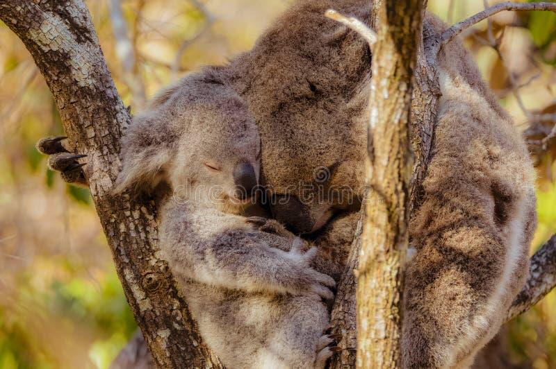 Mère et bébé de koala caressant ensemble image stock