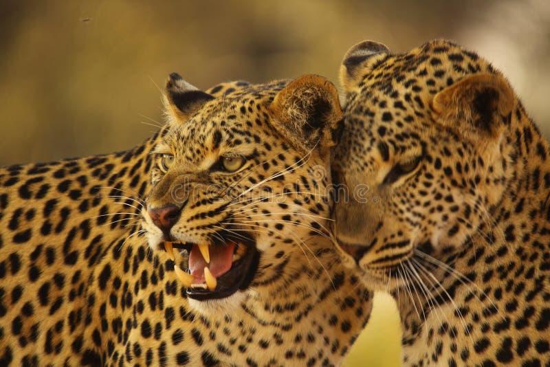 Mère et CUB de léopard image stock