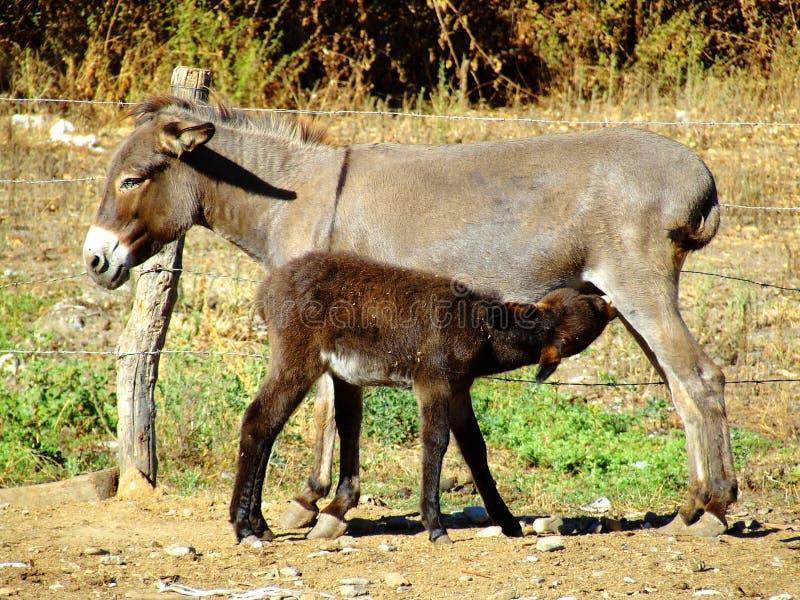 Mère et fils d'âne image stock