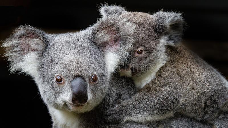 Mère et joey de koala images libres de droits
