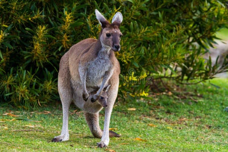 Mère et Joey Kangaroo photos stock