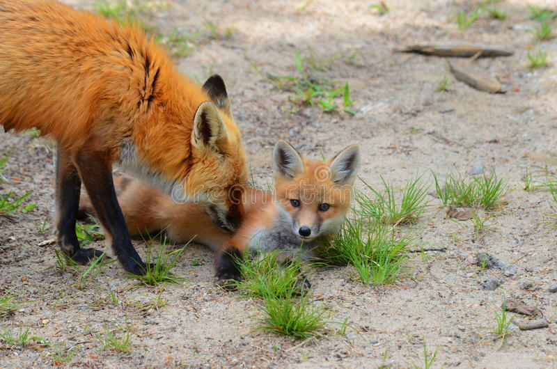 Mère et kit de Fox rouge image libre de droits