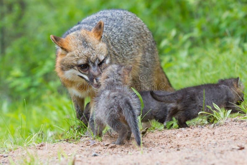 Mère et nouveaux-nés de renard rouge images libres de droits