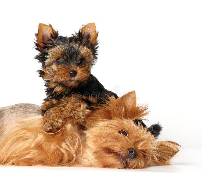 Mère et son bel enfant. Le chien terrier de Yorkshire photo stock
