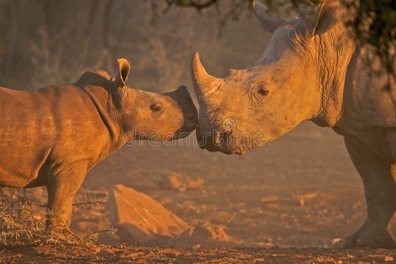 Mère et veau blancs de rhinocéros image libre de droits