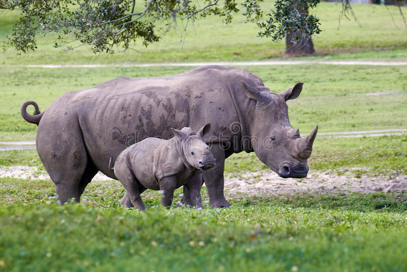 Mère et veau de rhinocéros en parc photographie stock libre de droits