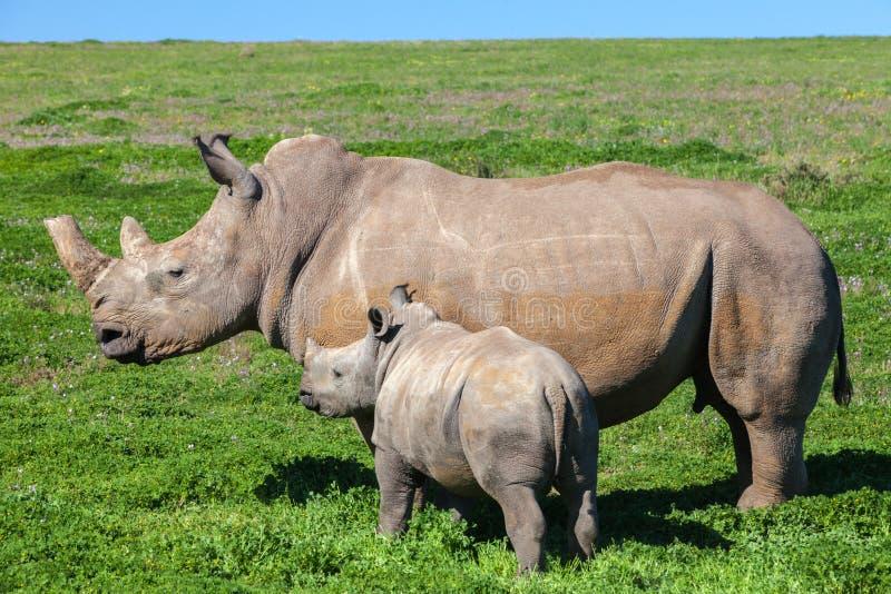 Mère et veau de rhinocéros se tenant dans l'herbe image stock
