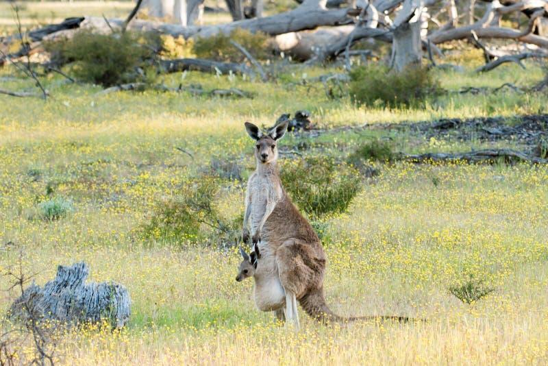 Mère grise occidentale de kangourou (fuliginosus de Macropus) avec le joey photos libres de droits
