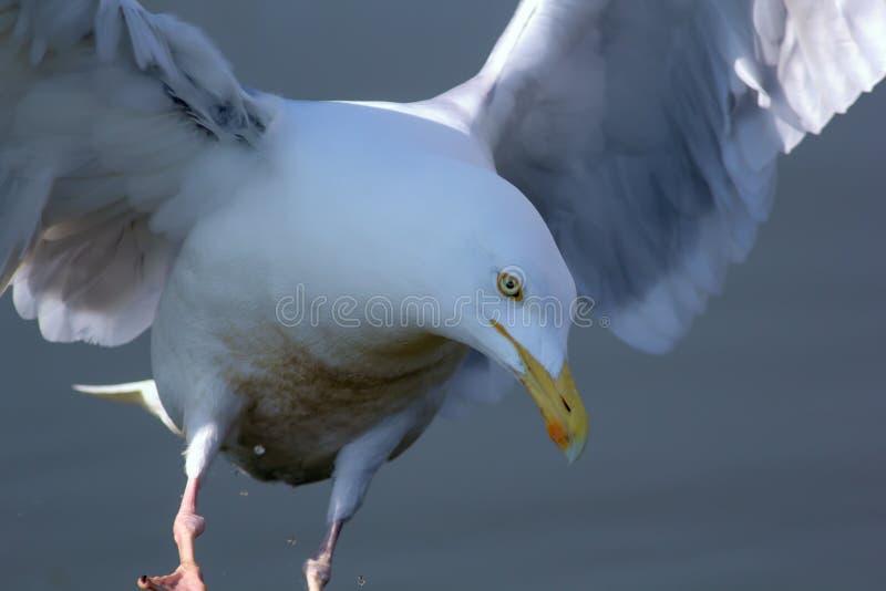 Mère nature Oiseau blanc pur serein en position merveilleuse comme un ange image libre de droits