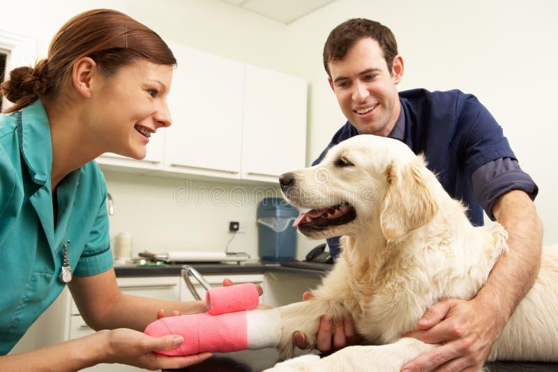Médecin vétérinaire mâle traitant le crabot dans la chirurgie images libres de droits