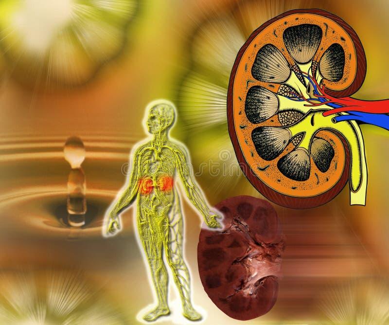 Médico - función del riñón ilustración del vector