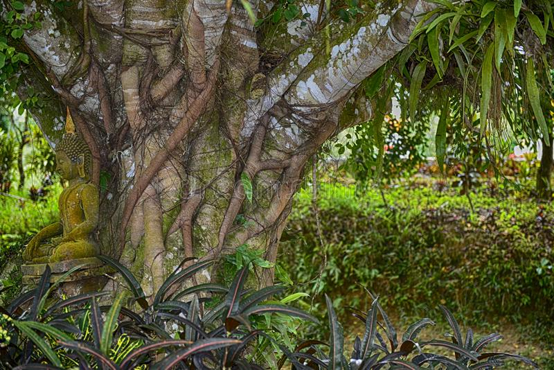 Méditation sous un arbre vieil d'un siècle : Koh Samui, Thaïlande photo stock