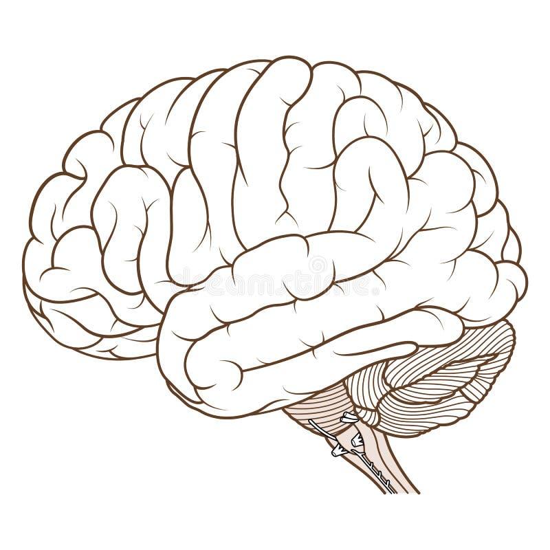 Médula oblonga coloreado de la vista lateral de la anatomía del cerebro humano completamente ilustración del vector