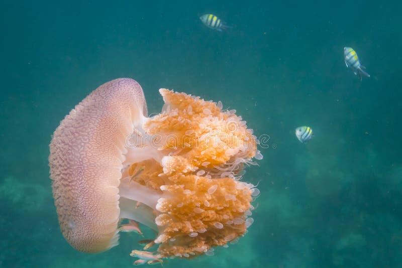 Méduses à l'île de Lipe photo libre de droits