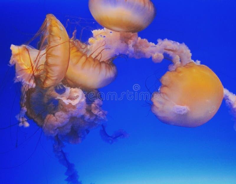 méduses photo stock