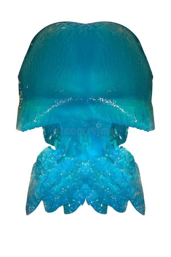 Méduses bleues Queensland images libres de droits