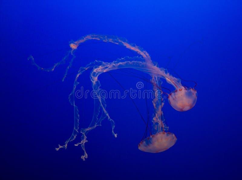 Méduses colorées image libre de droits