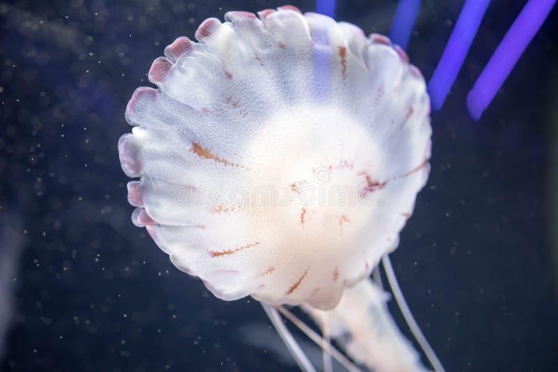 Méduses colorées blanches troubles flottant sur les eaux avec de longues tentacules Ortie Pacifique blanche de mer photos stock
