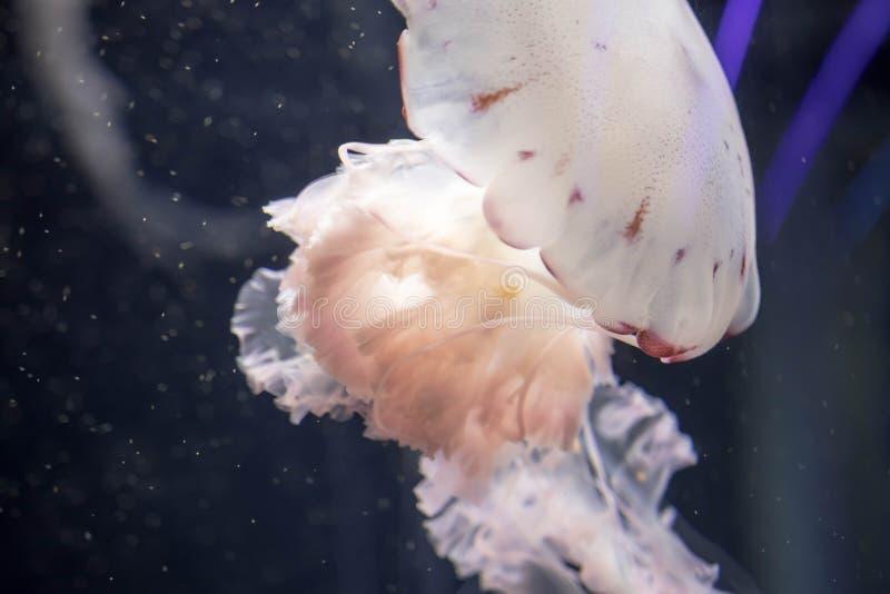 Méduses colorées blanches troubles flottant sur les eaux avec de longues tentacules Ortie Pacifique blanche de mer photo libre de droits