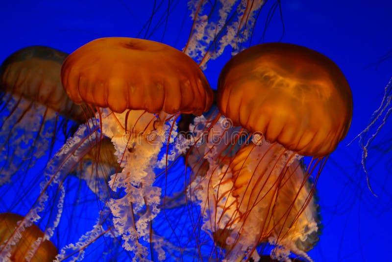 Méduses d'ortie de mer image libre de droits