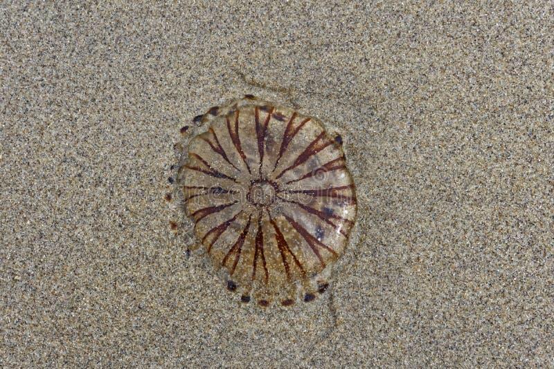 Download Méduses dans le sable image stock. Image du libre, texture - 76083793