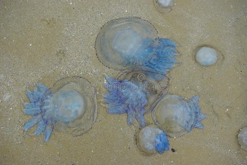 Méduses dans le sable Paysage marin image libre de droits