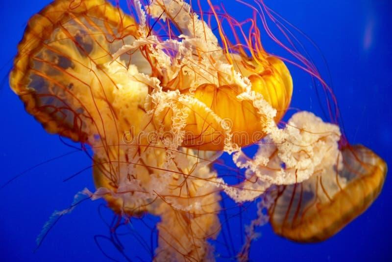 Méduses oranges dans un aquarium image libre de droits