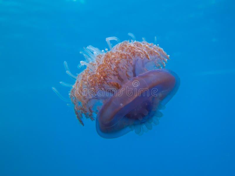 Méduses pourpres de couronne image libre de droits